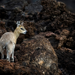 Klipspringer - Tsavo-West - Kenia