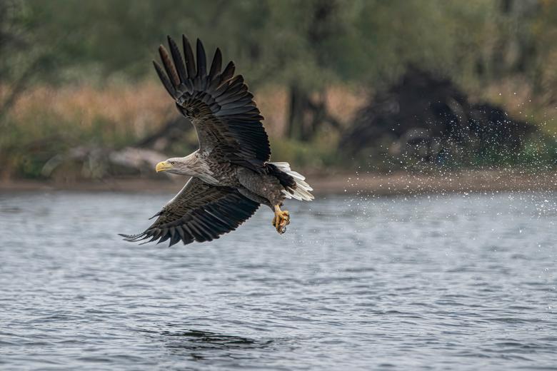 Hebbes! - De zeearend grijpt met een enorme snelheid de vis uit het water. Met veel opspattend water tot gevolg.<br /> <br /> Bedankt voor de leuke