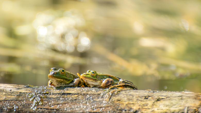 Toch vriendjes - Waren deze twee kikkertjes in mijn vorige foto geen vriendjes, nu zitten ze toch gezellig bij elkaar