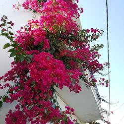 Roze bougainville