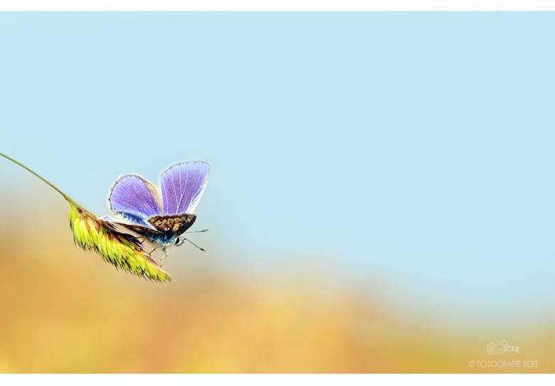 icarus vlinder - Allemaal erg bedankt voor de reacties op mijn vorige upload.<br /> Groet Bert