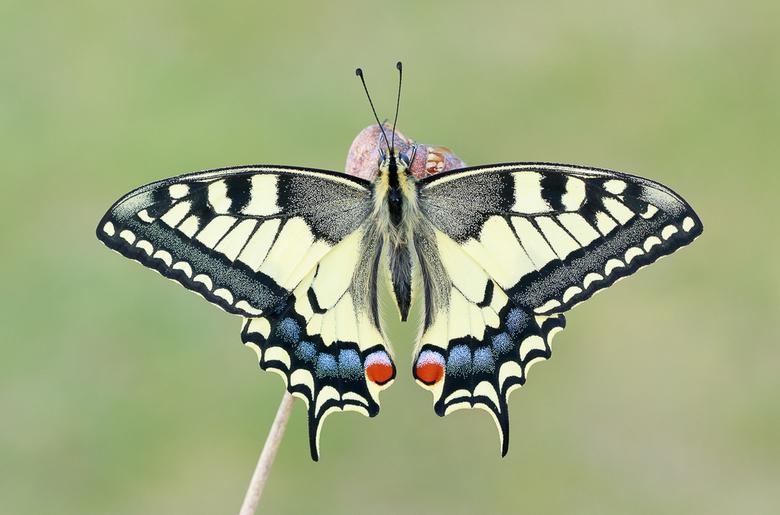 Koninginnenpage - Swallowtail - Schwalbenschwanz - Papilio machaon - Koninginnenpage - Swallowtail - Schwalbenschwanz - Papilio machaon
