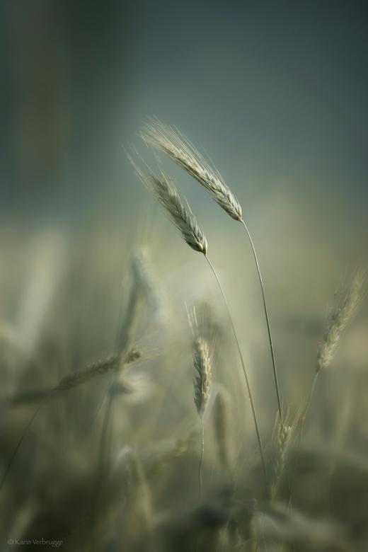 """Zachtheid 2 - Ik kon het niet laten om nog een graanfoto van de zoomdag in Ede te plaatsen. <br /> Gewoon omdat ik blij met de foto ben <img  src=""""/i"""
