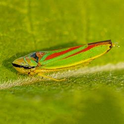 Green-Banded Leafhopper aan het plassen