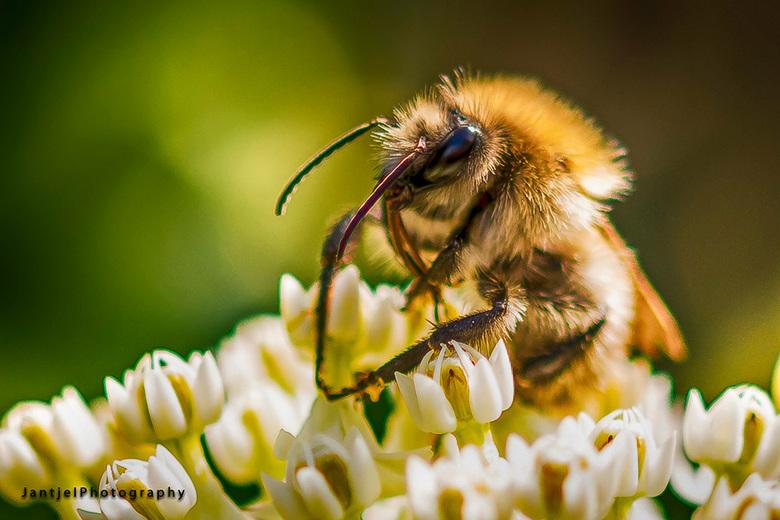 Honingzuiger -