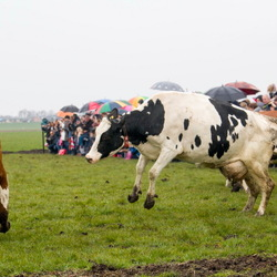 Dansende koeien-1-