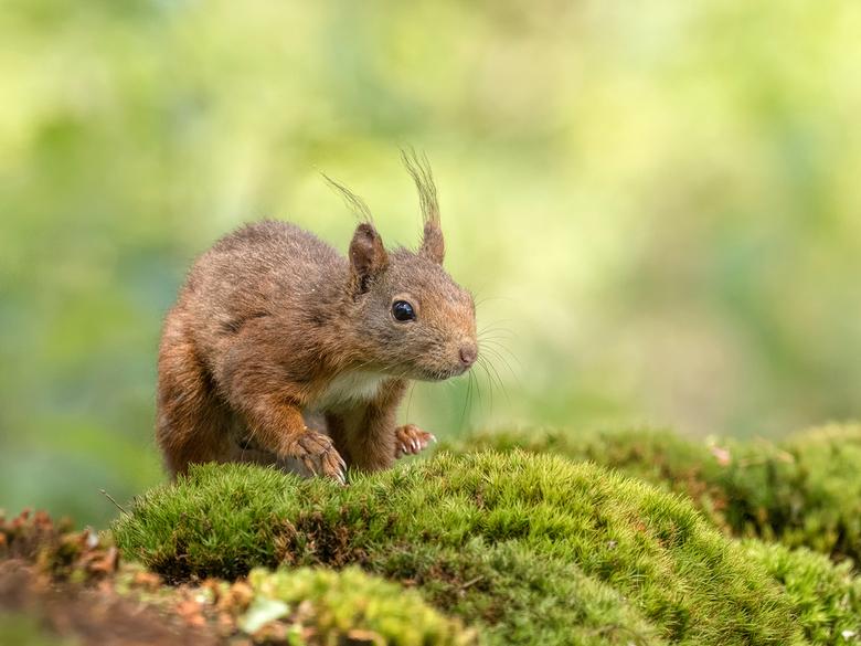 Op het zachte mos.. - eekhoorntje in het bos