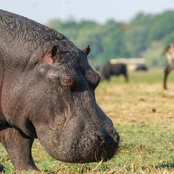 Nijlpaard aan het grazen