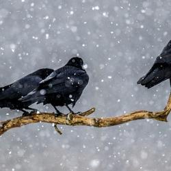 raven in de sneeuw. Even aanklikken.