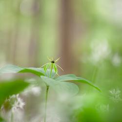 Eenbes in een bosgrond vol met daslook