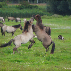 Battle of the Stallions1