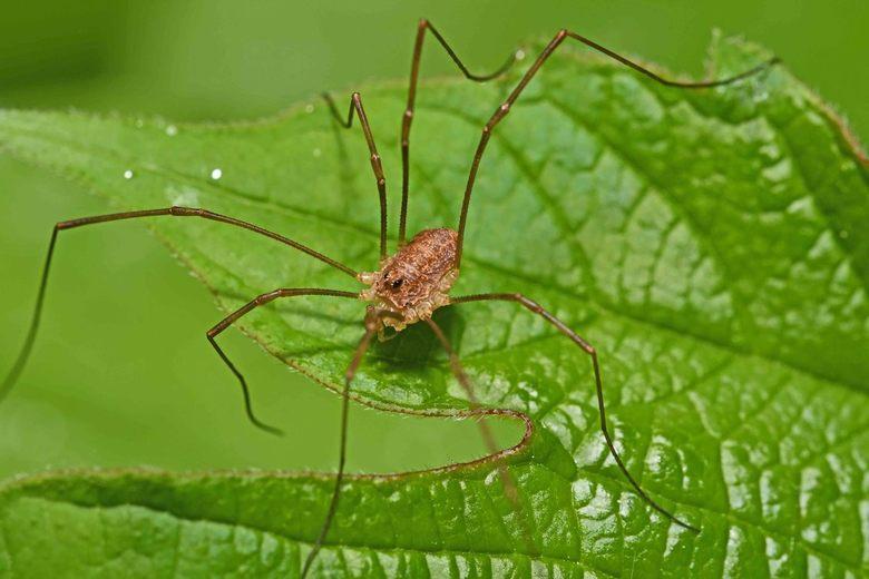 geen spin! - Doordat spinnen en hooiwagens beiden acht poten hebben worden hooiwagens wel als spin bestempeld. Toch zijn de verschillen groot. Hooiwag