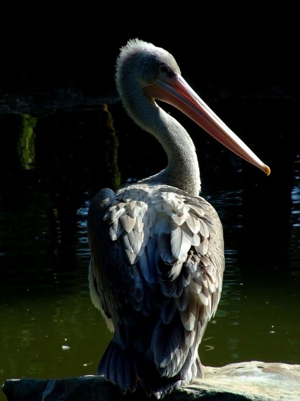 Pelikaan - Heerlijk weer op zondag. Dat vraagt om een rondje Beekse Bergen. Deze pelikaan, zat eens op zijn gemak over de schouder te kijken of ik nie