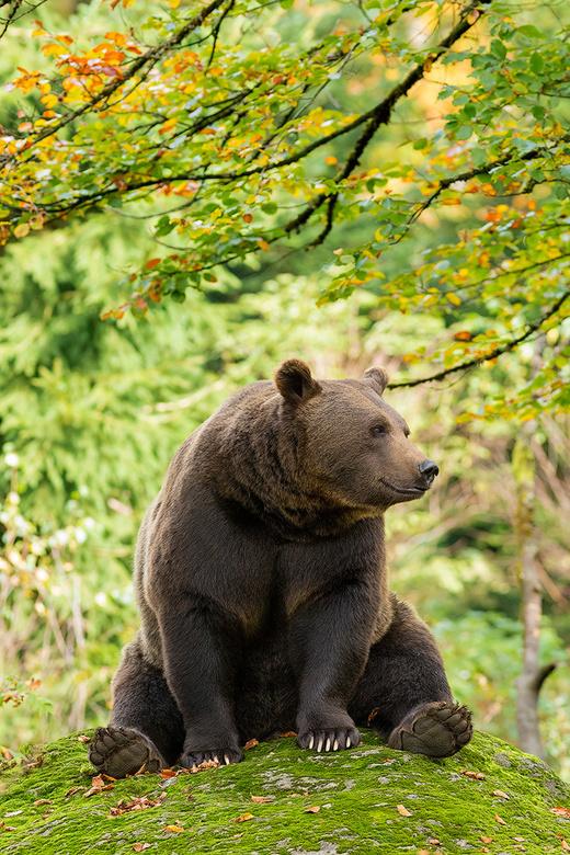 Winnie de poe?? - Deze bruine beer in het Bayerischer Wald ging er even lekker voor zitten.Bijna aaibaar en lief maar ja........