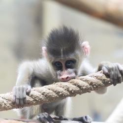 Ondeugende baby aap