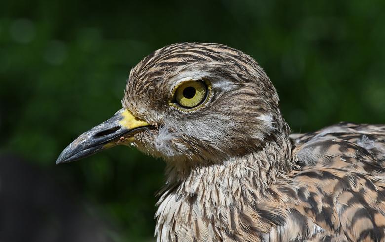 felle ogies - Bij roofvogels en vooral bij uilen word ik steeds weer gegrepen door de felle ogen. De ogen van de Kaapse griel doen daar niet voor onde