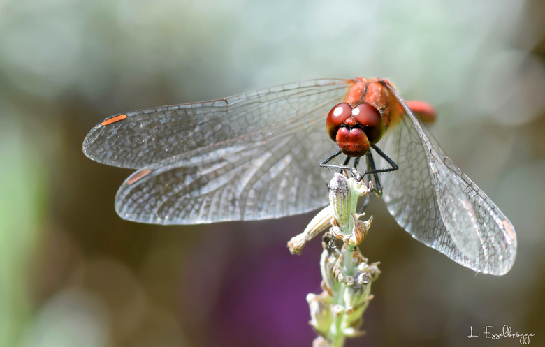 Bloedrode heidelibel (Sympetrum sanguineum) -