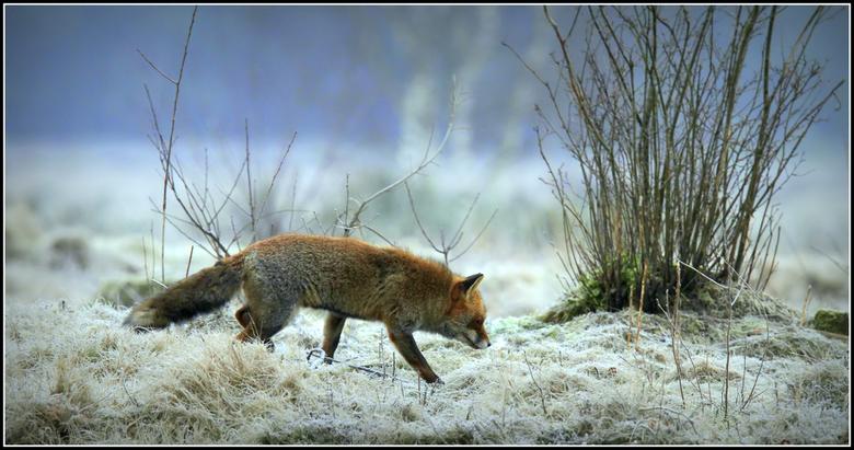 Nachtvorst - Het lijkt of vossen het meest aktief zijn en zich het meest laten zien als het koud weer is. <br /> Deze oude rover struinde in de vroeg