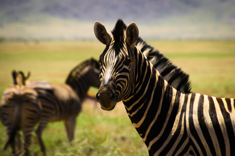 Zebra - Foto van een Hartmann-zebra in Namibië.
