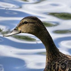 nog een duckie