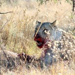Etende leeuwin