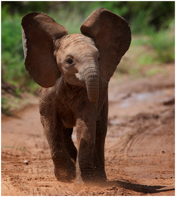 """Jonge Olifant probeert een aanval. - Tijdens onze fotografieworkshop in Tanzania, probeerde deze jonge Olifant , een """" aanval """", om te laten"""