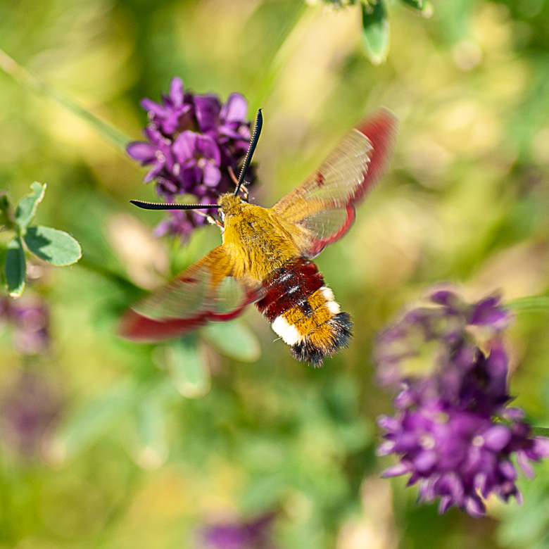 Glasvleugelpijlstaart vlinder -