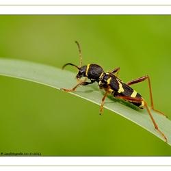 De kleine wespenbok (Clytus arietis)