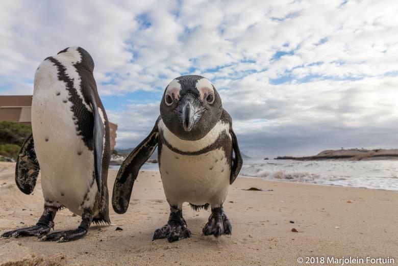 Close-up Afrikaanse pinguïn - De afrikaanse pinguins ookwel bekend als ezelspinguïn zijn een plezier om naar te kijken. Ze worden trouwens ezelspinguï