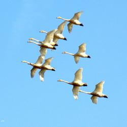 wilde zwanen in de lucht