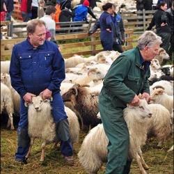 IJsland: Schaapssortering...IV