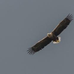 Vogeleiland Zee-arend
