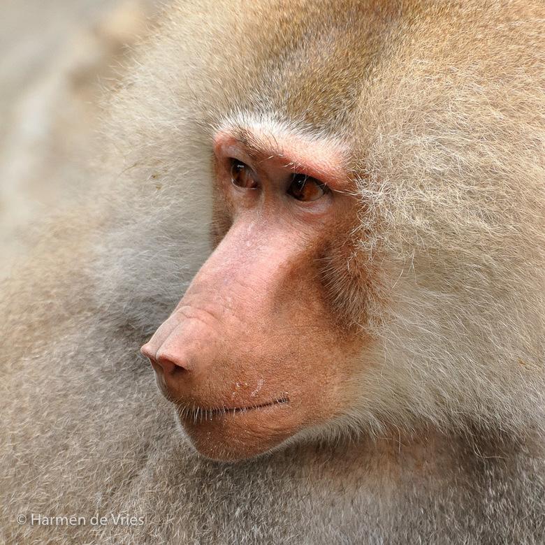 Portret van een mantelbaviaan - Portret van een Mantelbavianen mannetje in de Emmer dierentuin.