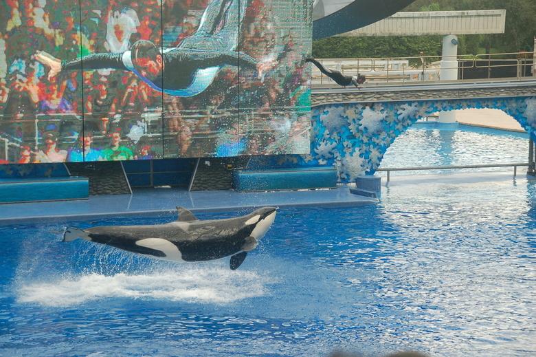 orka - gemaakt tijden de orka show in Seaworld Orlando. Man op scherm is man die door de lucht vliegt.