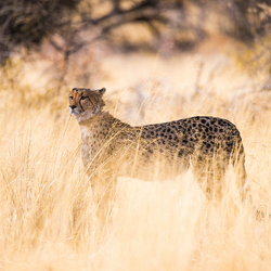 Cheetah in the Morning