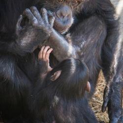 chimpansee drinkt