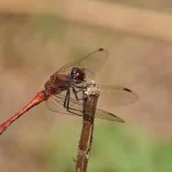 Bloedrode heidelibel