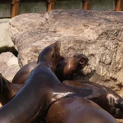 Schreeuwende zeeleeuwen