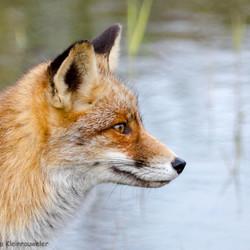 Portret van een vos