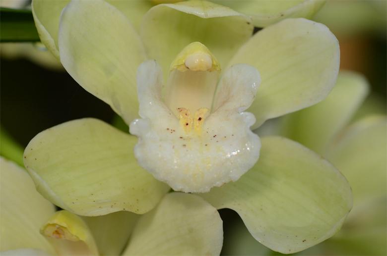 Orchidee - Orchidee gemaakt in de Orchideeën hoeve