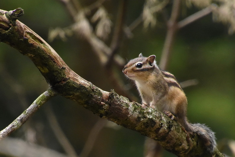 Chipmunck - Lopende door het Wandelbos in Tilburg, werd ik aangesproken door een man. Hij zag dat ik de kleine eekhoorntjes fotografeerde. Hij verteld