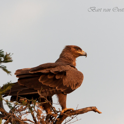 Steppe Eagle Oeganda
