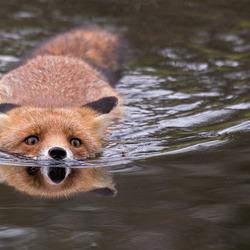 Zwemmende vos in de AWD