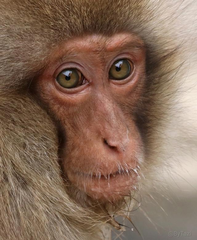 Snow monkey portrait - Deze dieren zijn zo mooi, zo bijzonder en geen gezicht is gelijk... Ik kreeg echt geen genoeg van al die mooie ogen... Dit was