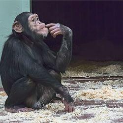 chimpansee 13