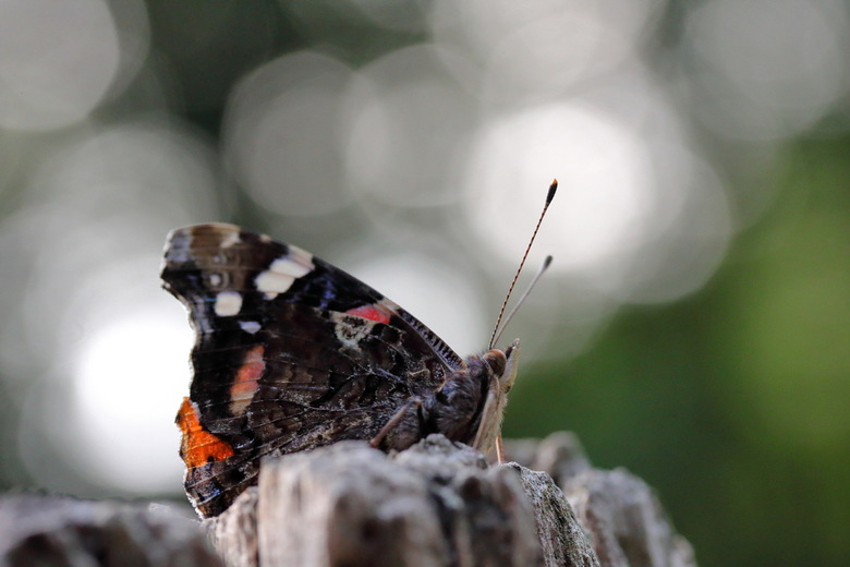 atalanta - Deze vlinder ging er eens mooi voor zitten