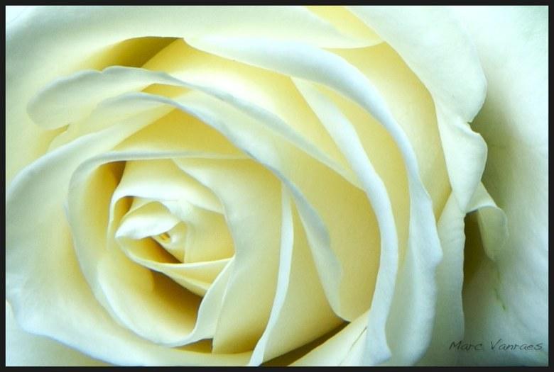 een witte roos - heeft niet veel uitleg nodig, geloof ik<br /> <br /> Marc