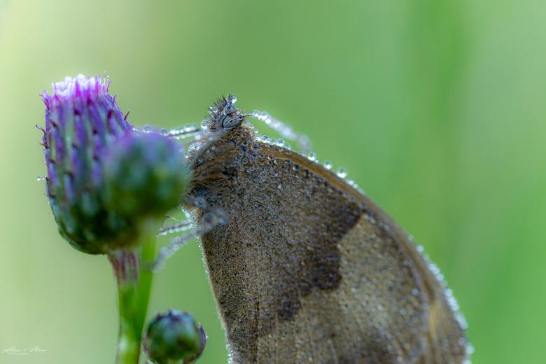 Butterfly - Vlinder met paar dauwdruppels