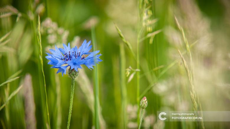 Korenbloem in het veld - Om ze in het wild tegen te komen is het toch nog best even zoeken. Als je zo'n korenbloem dan eindelijk weet te vinden z
