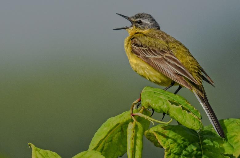 Gele kwikstaart. - Uit volle borst, liet deze prachtige zangvogel zich horen. <br /> <br /> Allen bedankt voor de mooie waarderingen op min vorige u